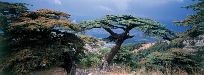 Poster c dres du liban jean bernard nadeau photographe bordeaux aquitaine - Cedre bleu du liban ...